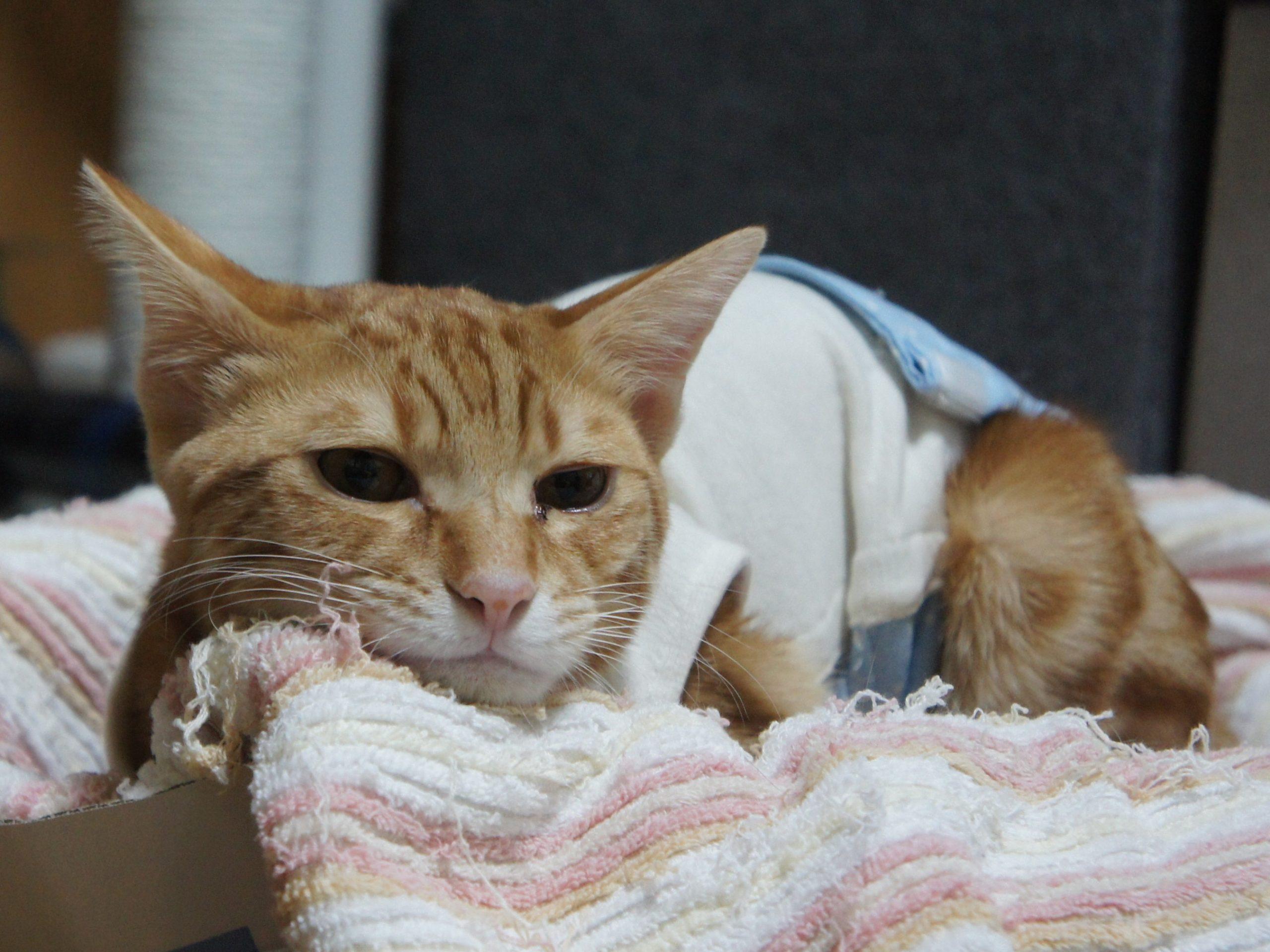 猫の手術は後のケアが大変