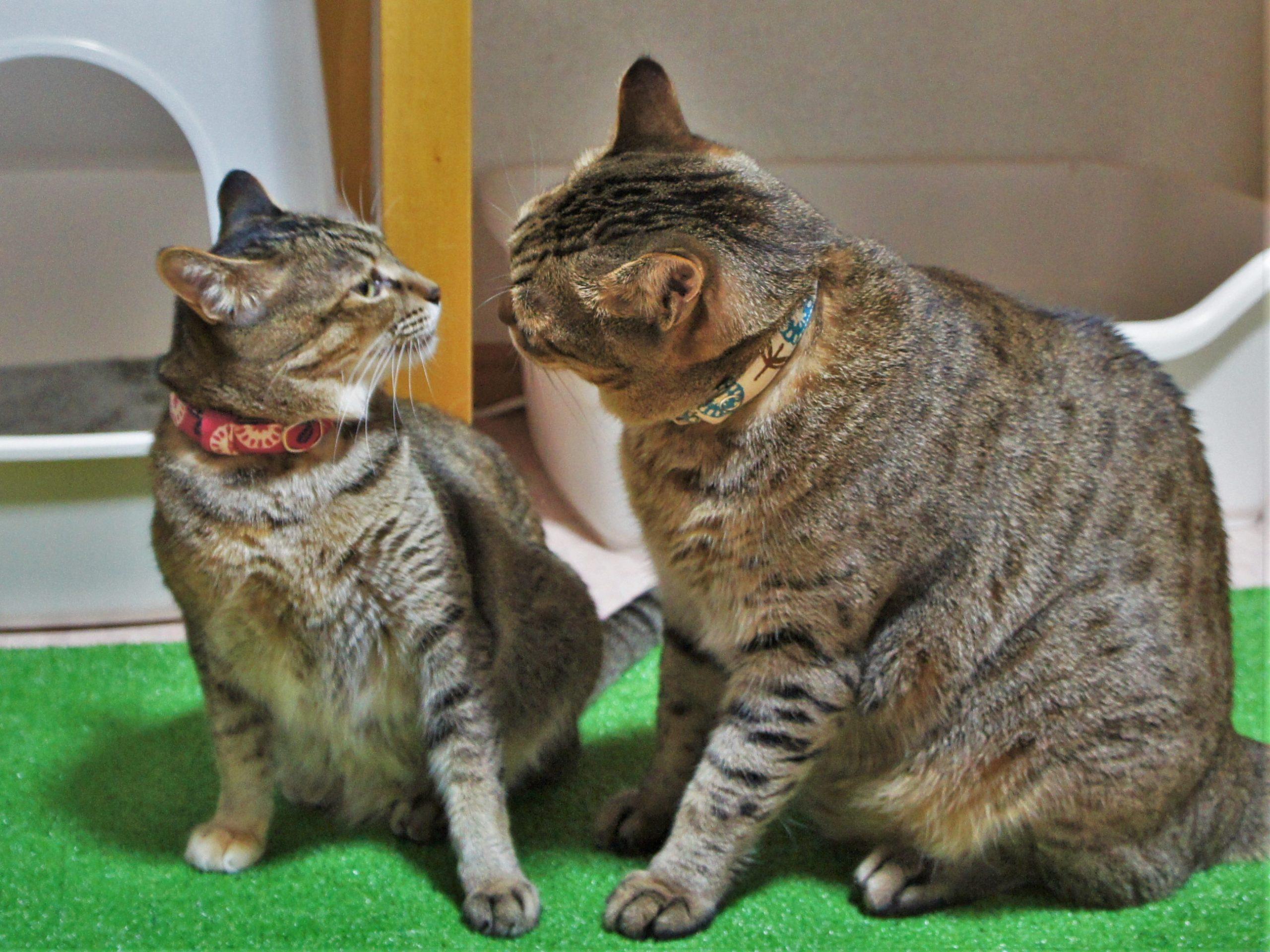室内猫に首輪は必要?手作り首輪なら可愛さ倍増!